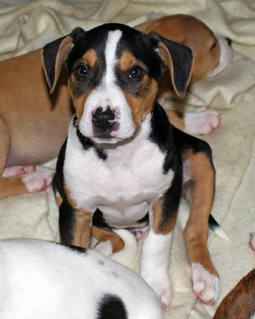 beagle boxer mix | Boxer Dogs/Mixes | Pinterest | Boxer ...