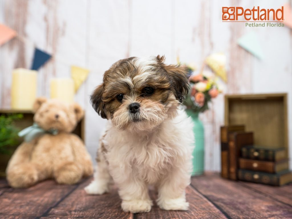 Puppies For Sale In 2020 Teddy Bear Puppies Puppy Friends Bear