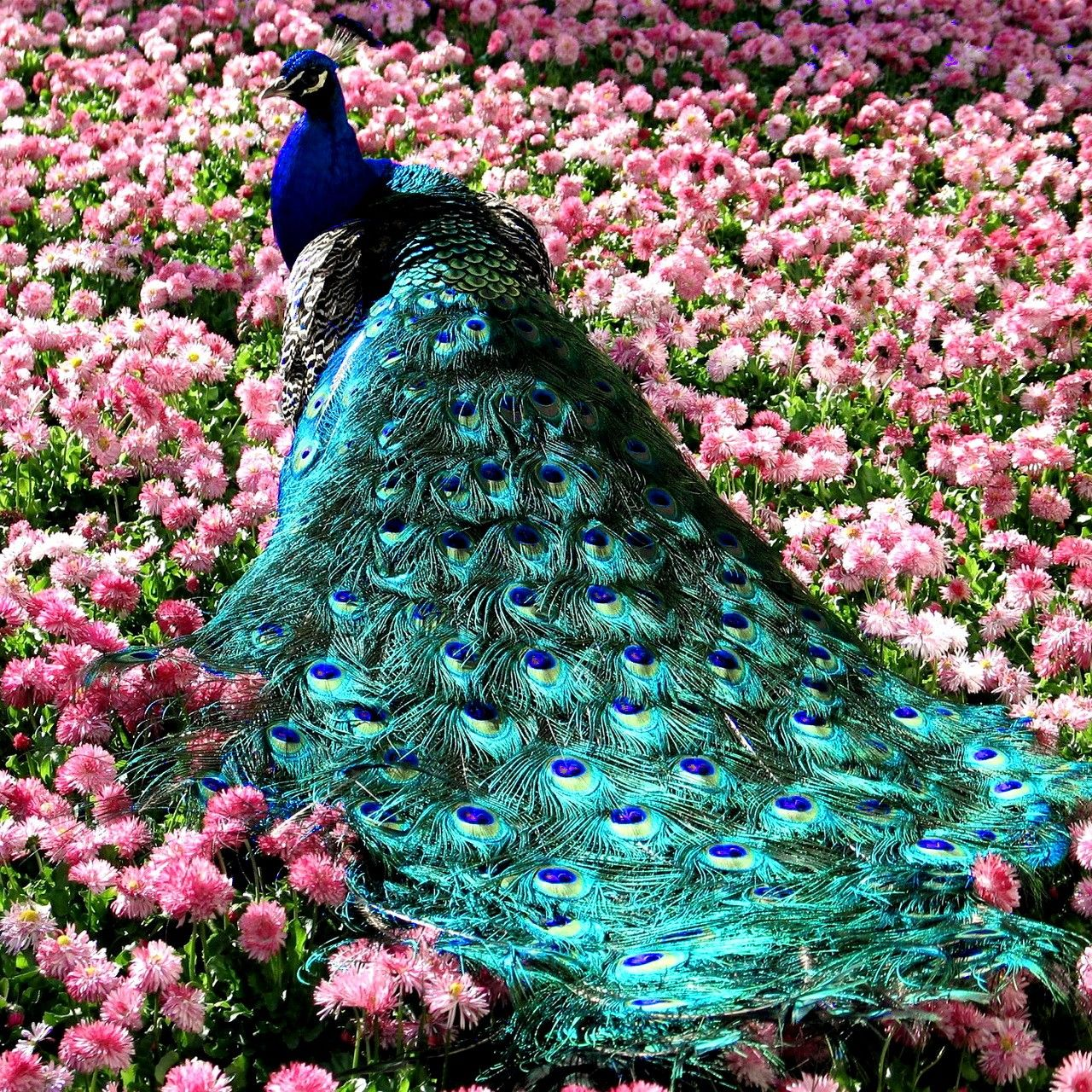 beautiful, this incredible peacock inspires me beyond words.