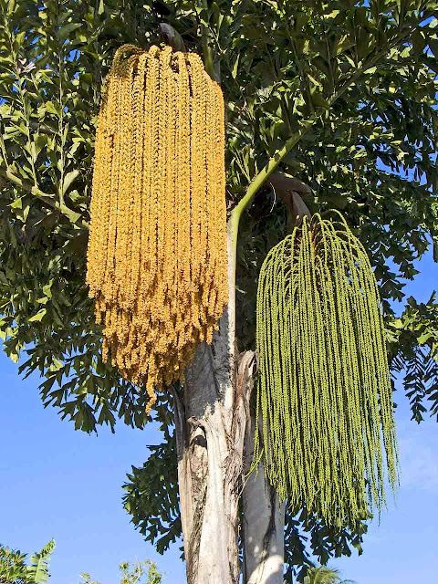 Palm inflorescence