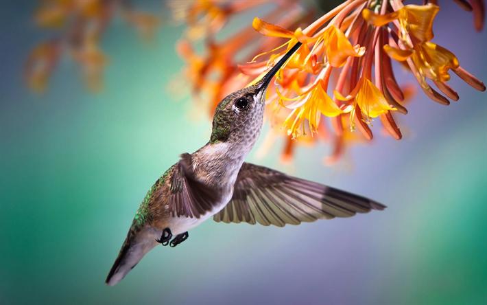 Lataa kuva Kolibri, pieni lintu, branch, kauniita lintuja