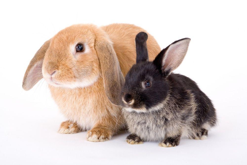 Hawaii All Breed Rabbit Club | Pet Info Club blog feed ...