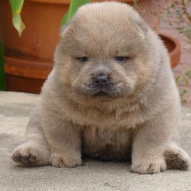 Baby Chow Chow Roman Boo The Dog Chow Chow Dog Puppy Puppies