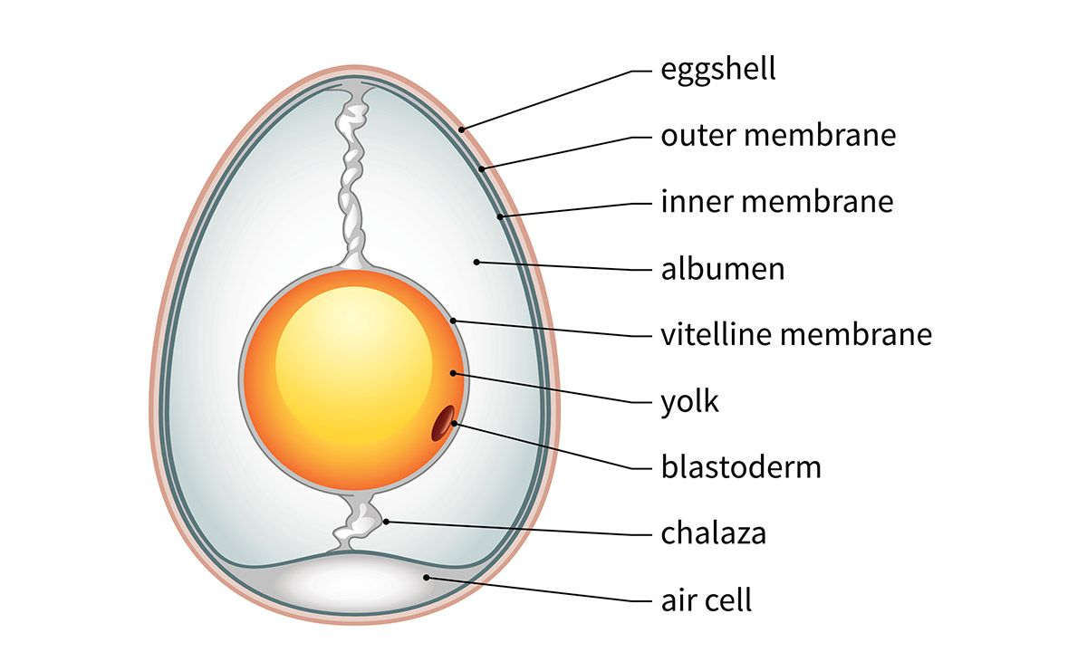 The anatomy of a chicken egg | recipes | Pinterest | Anatomy and Egg
