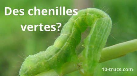 10 trucs contre les chenilles insectes chenille verte. Black Bedroom Furniture Sets. Home Design Ideas
