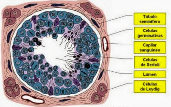 Esta imagen representa un túbulo seminífero, el c… | Anatomía y ...