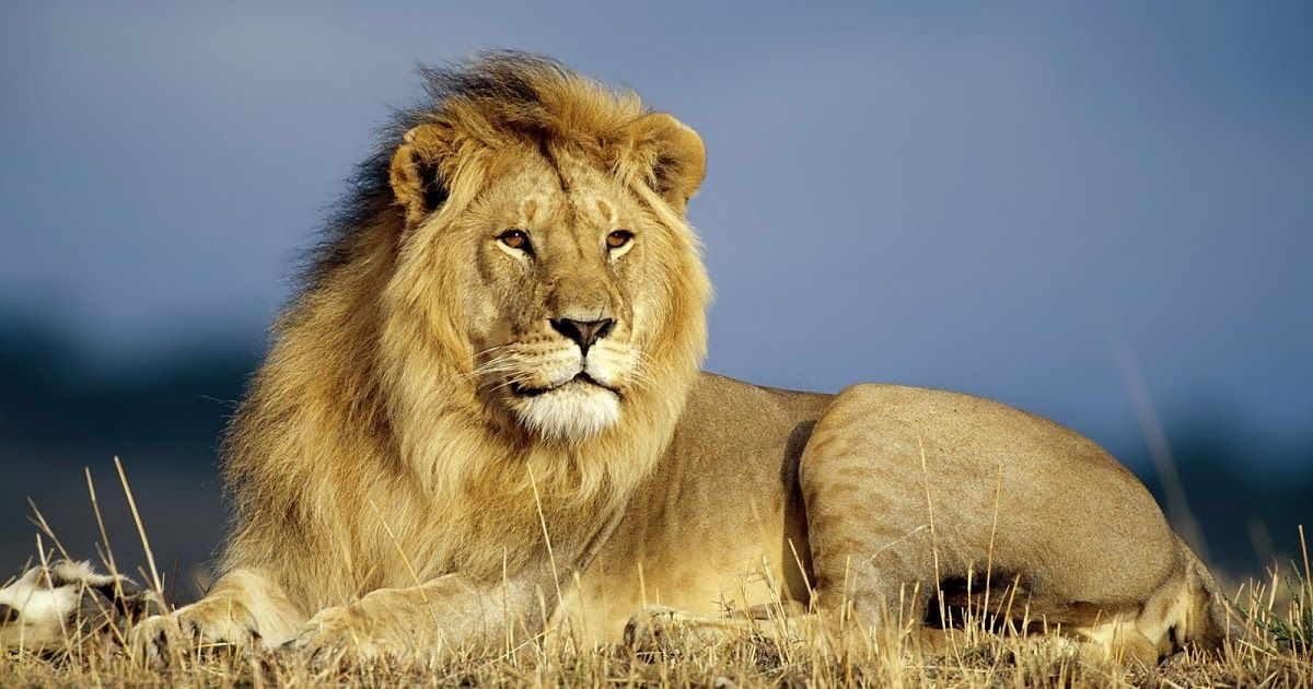 Best 25 Lion Hd Wallpaper Ideas On Pinterest: Best Lion Pictures - Best Wallpaper HD