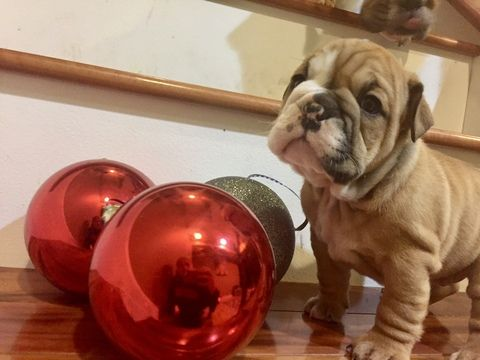 English Bulldog Puppy For Sale In White Hall Md Adn 57991 On