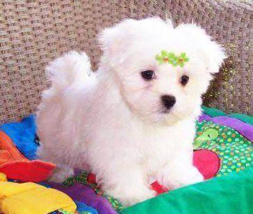 Nombres Para Perritas Y Perras Maltese Puppy Teacup Puppies Maltese Maltese Dogs