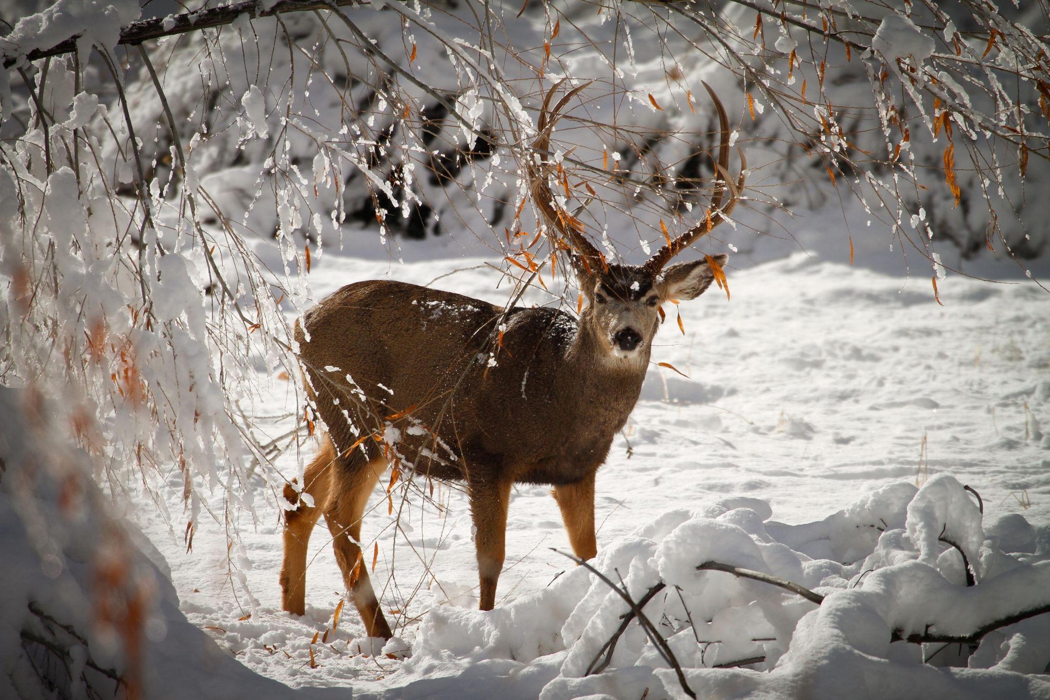 deer wallpaper full size o oshenka Pinterest