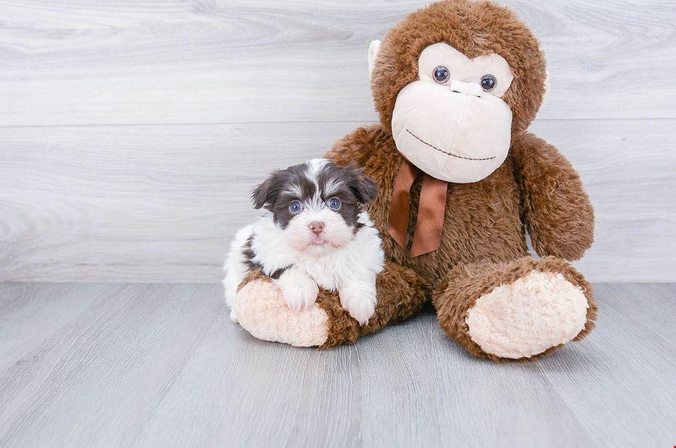 Havanese puppies havanese puppies for sale puppies for