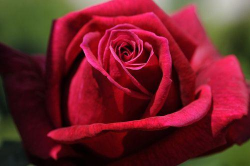 Papa Meilland rose
