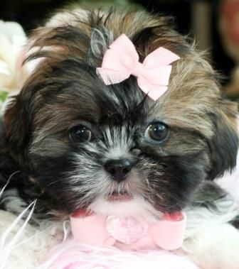 Teacup Shih Tzu Puppy For Sale Teacup Shihtzu Puppy Dog