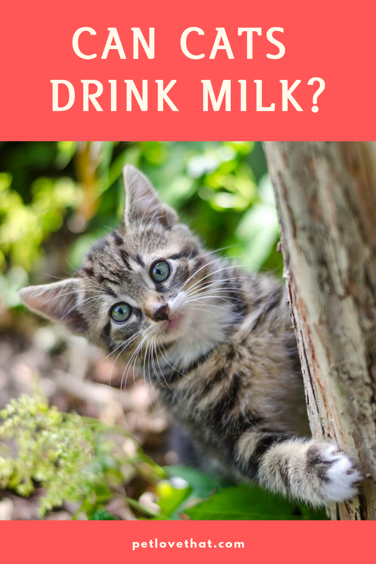 Is Your Cat Drinking Milk Have Realized Any Health Change When Your Cat Drink Milk Many Cats Do Drink Milk Most Cat Owners Have Cats Drink Milk Cat Drinking