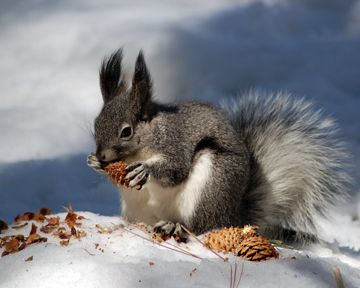 54b24c01c86a Kaibab squirrel like the ones we saw camping near the north rim of ...