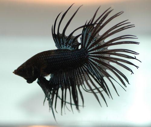 black Betta Fish | Crown Tail Black Orchid Betta (Betta ...
