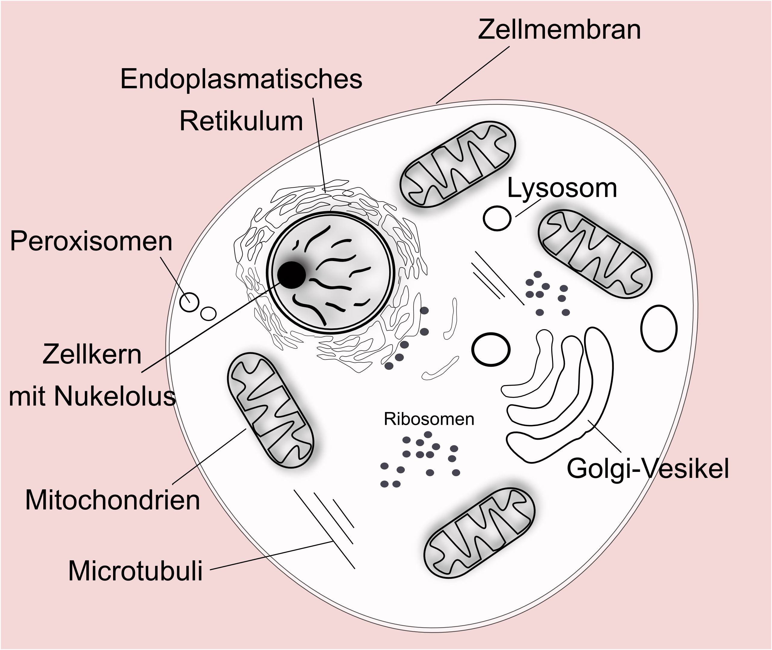 Tierische (eukaryotische) Zelle. Die komplexe Zelle enthält einen ...