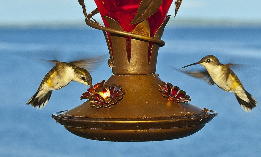 Are you looking for the perfect recipe for food for your hummingbird feeder. Here you can find out how to make homemade liquid food for your feeder and a few things about hummingbirds.