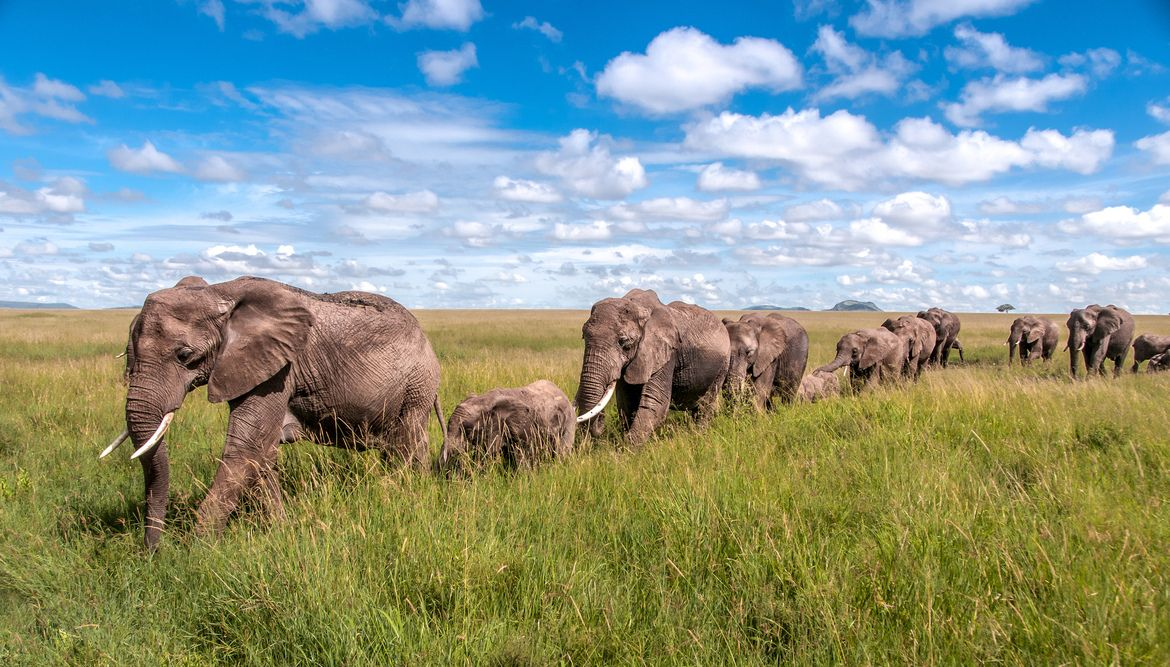"""""""Elephants on Parade"""" by Ed Dornfeld: While I was on safari in Tanzania, I wanted a picture of a line of elephants marching trunk-to-tail, and this is the result."""