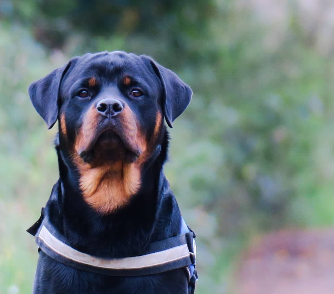 The Nesting Behavior Of A Pregnant Dog Rottweilers Pregnant