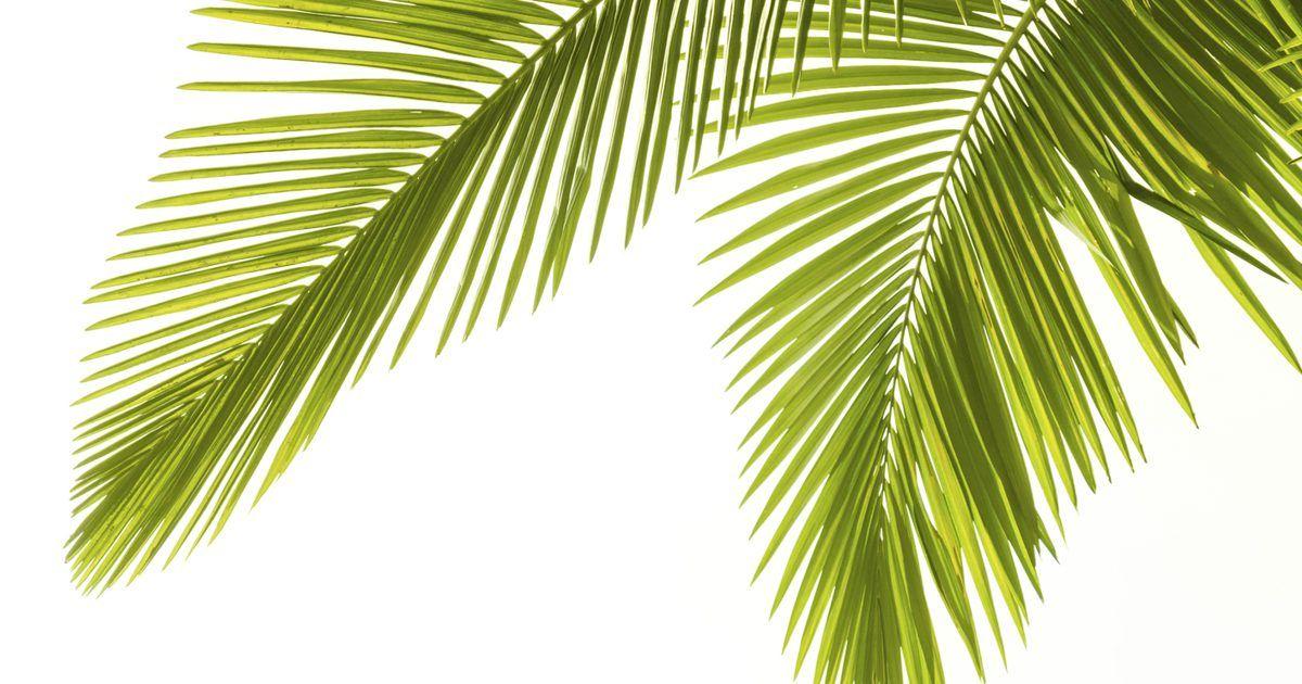 Como Cuidar Da Palmeira Areca Dypsis Lutescens Dentro De Casa