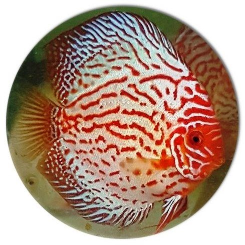 White Fire Dragon Discus Fish 2 inch Discus fish for