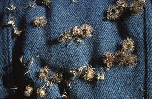 Tipos de semillas y su dispersión: Semillas pegajosas