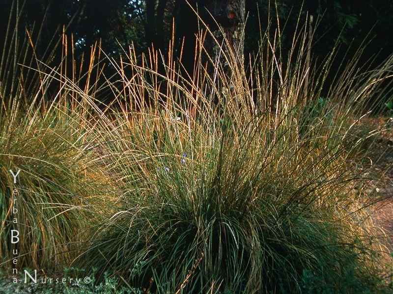"""Muhlenbergia rigens """"Deer Grass"""" """"basket grass"""" Lovely"""