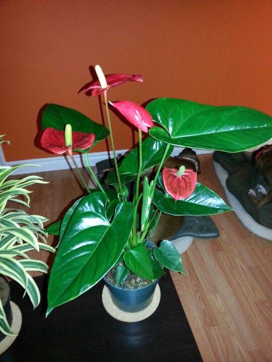 My new plant! An Anthurium