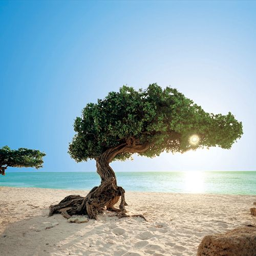 Aruba's natural compass, the famous Divi Tree.