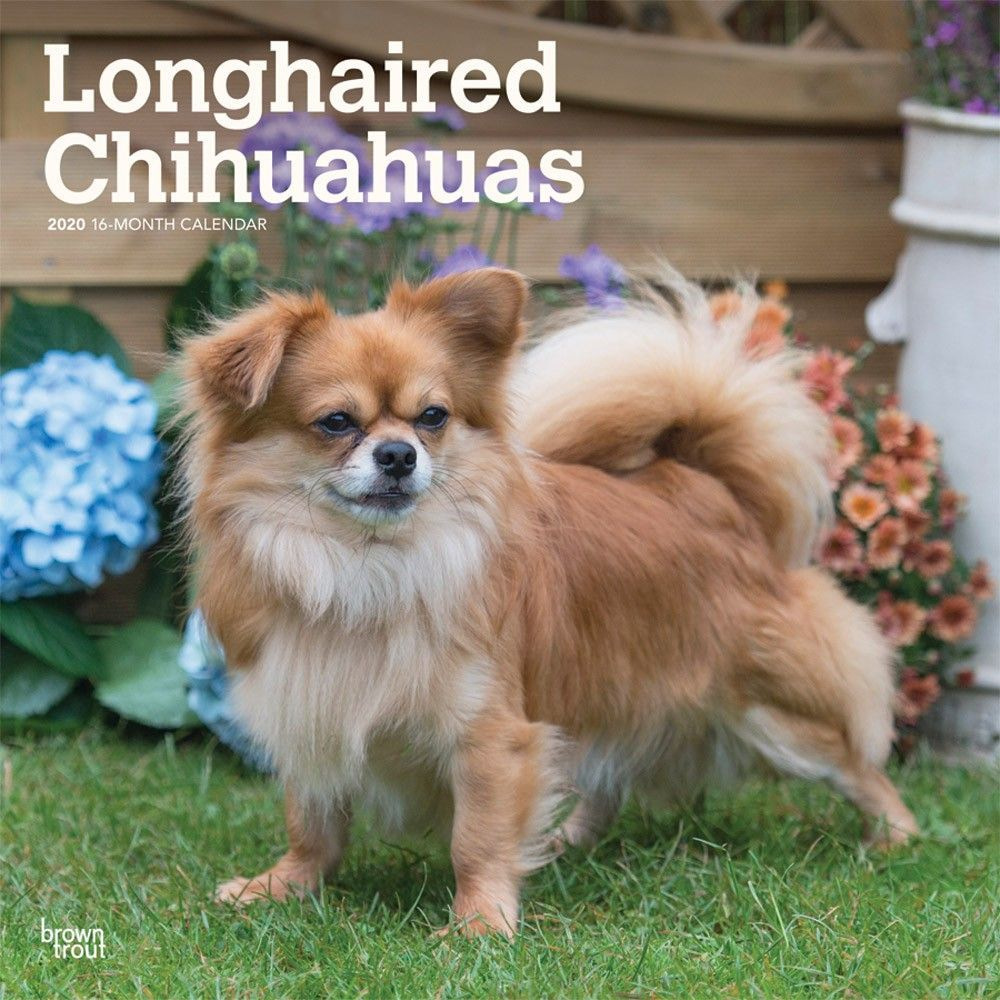 Chihuahuas Longhaired 2020 Wall Calendar Small Dog Breeds Dog