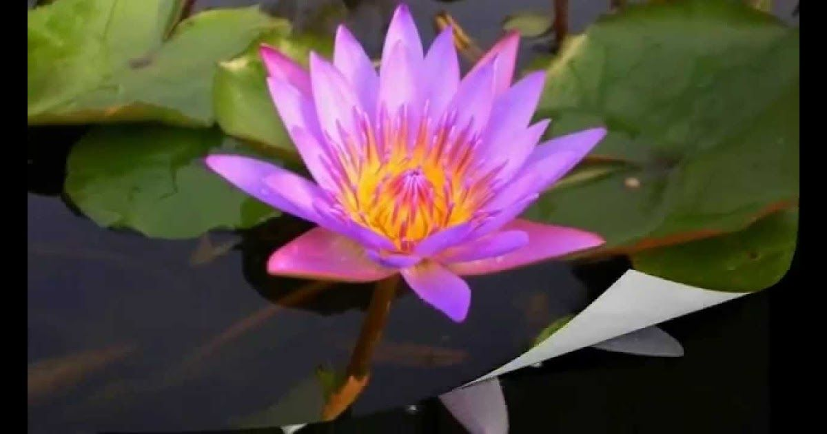 Paling Keren 30 Gambar Bunga Teratai Gerak Bunga Teratai Lotus Sedang Mekar Youtube Download Wartabangau Vol3 Digital Versi Gambar Bunga Bunga Teratai Bunga