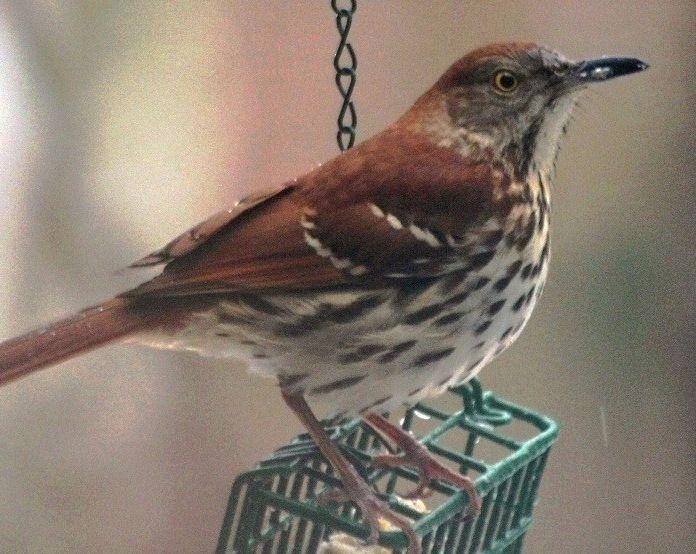 Brown Thrasher, NC | Backyard birds, Birds, Beautiful birds