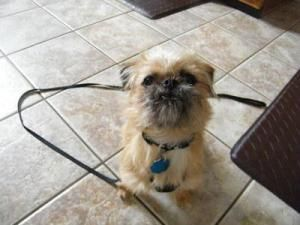 "TAZ is an adoptable Pekingese Dog in Beavercreek, OH.   Hi, it's me Taz , or as my foster mom calls me...  ""Tazzy""!!!       I am a Peke/Brussel Griffon mix who weighs about 8 lbs.     I am approximate..."