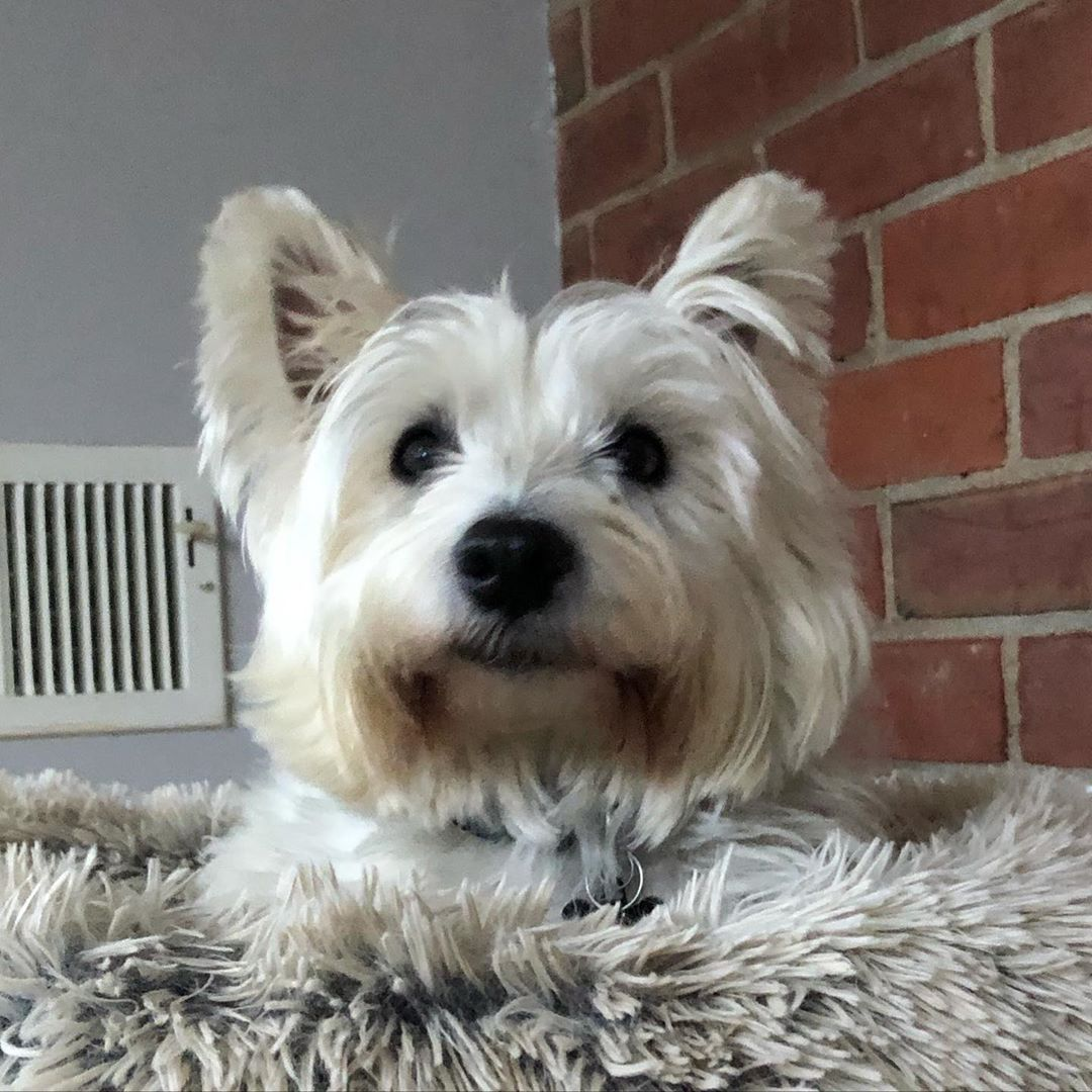 Pin By Ann Tilden On Westies In 2020 With Images Westie Puppies Cute Animals Westies
