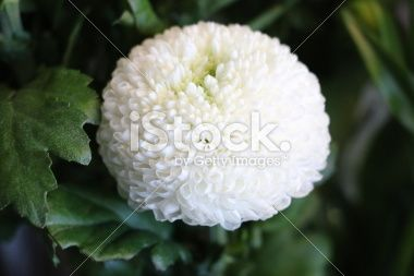 The True Pom Poms Of The Flower World White Disbud Chrysanthemum Potted Mums Chrysanthemum Flowers