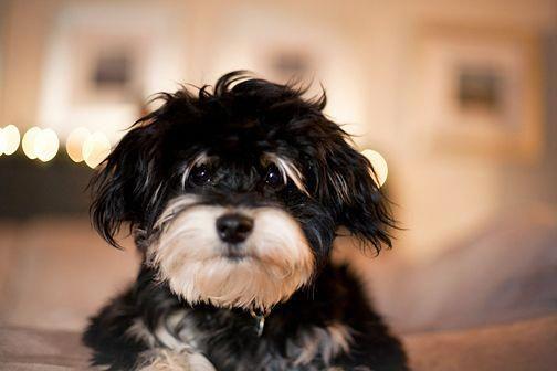 Havanese Intelligent And Funny Havaneser Hunde Tiere