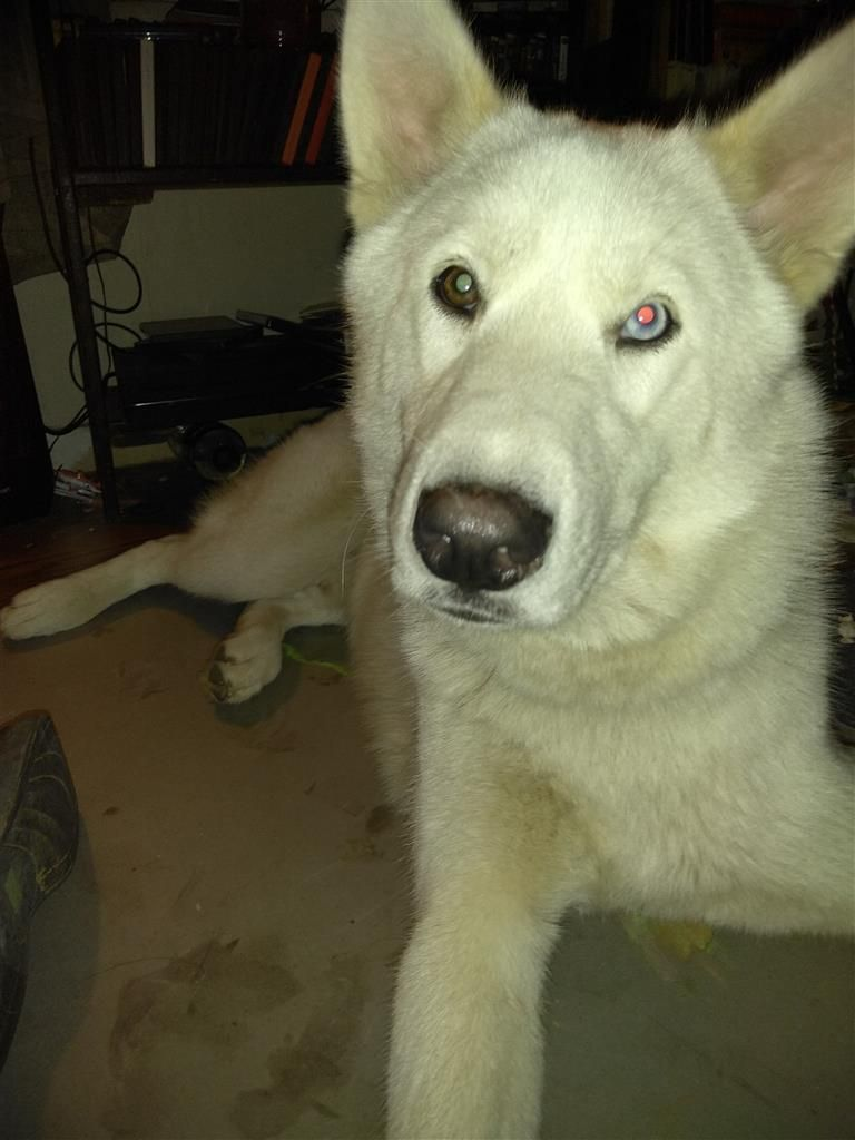 Lost Dog Husky Pensacola Fl United States Losing A Dog
