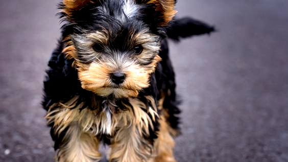 The Post Yorkshire Terrier Puppy Wallpapers 63 Best Free Yorkshire Terrier Puppy Images For Android Ap Yorkshire Terrier Puppies Yorkie Puppy Yorkshire Terrier
