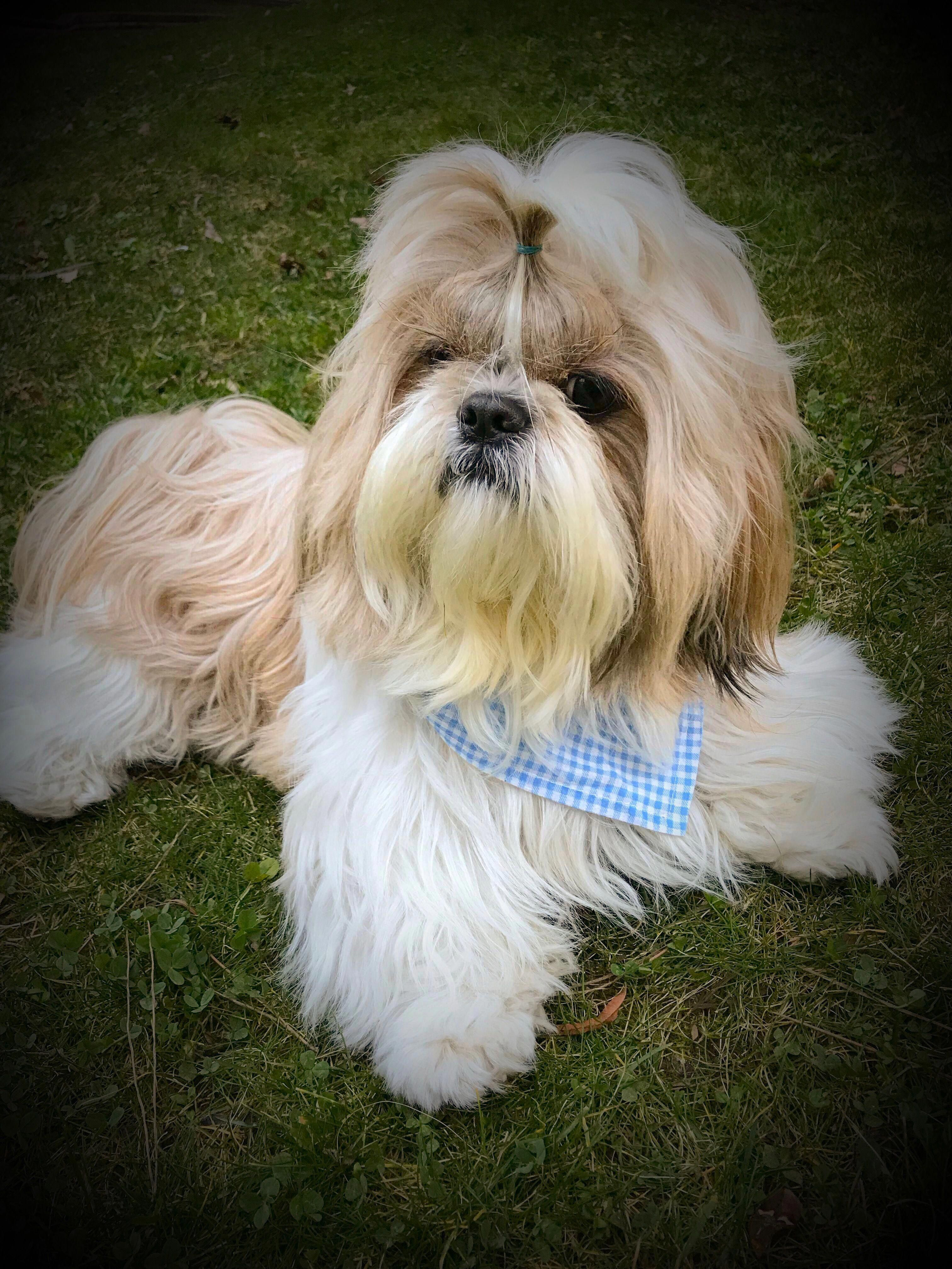 See Our Web Site For More Info On Shih Tzu Dog It Is A Great