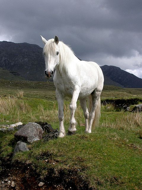 4c005ac621 fusible  White Connemara pony 1 (by hehaden (away for a week ...