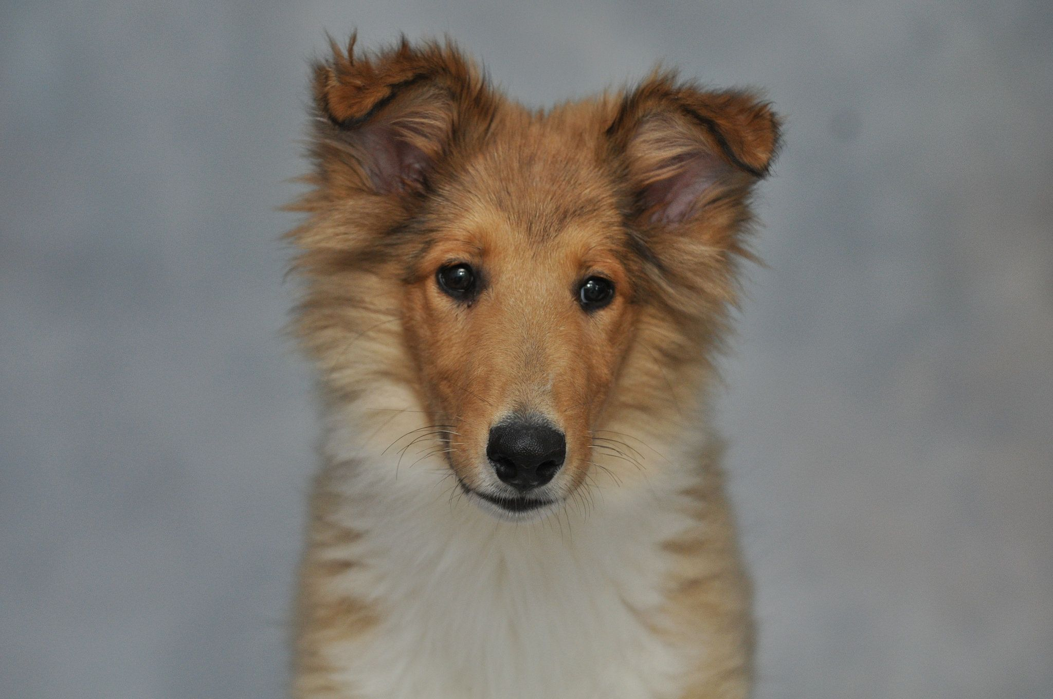 Our Rough Collie Foster Puppy Ian 0692 Best Dog Breeds Foster Puppies Collie