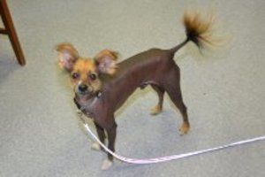 Pias Is An Adoptable Chinese Crested Dog Dog In Greensboro Nc