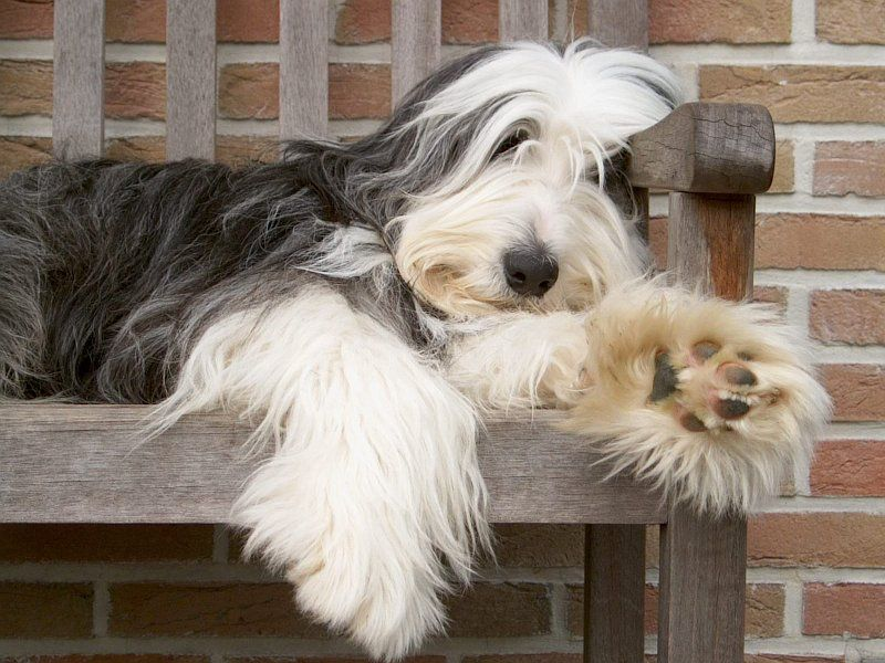 Bearded Collie Dog Breed Profile Collie Hond Collie Puppies