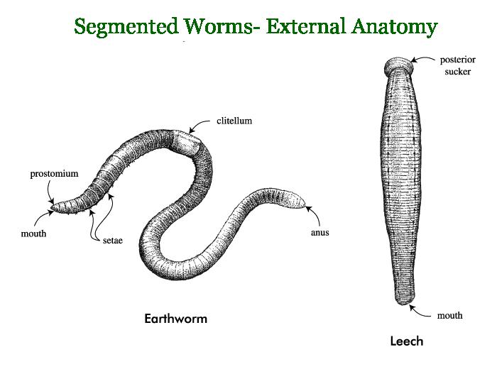 Segmented Worms Google Search Animals Pinterest