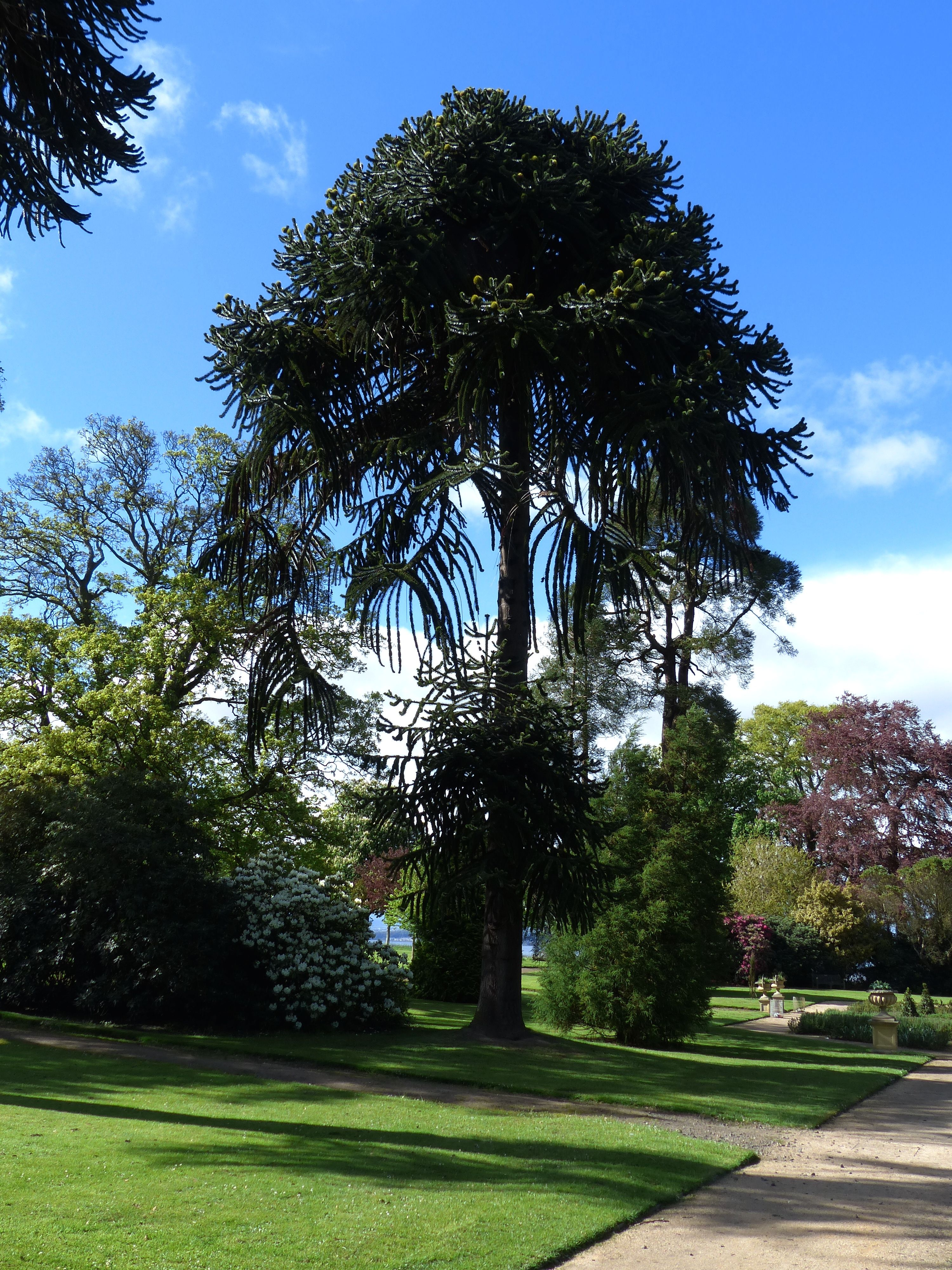 Magnificent monkey puzzle tree at Lauriston Castle - one for #EdinHour