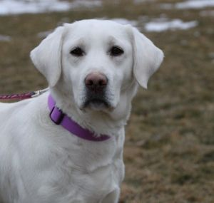 Labrador Retriever Puppies for Sale Minnesota Breeder