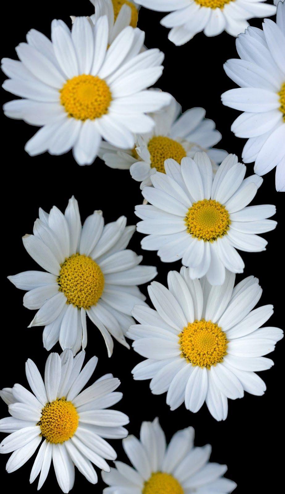 White Sunflower In Black Background In 2020 White Sunflowers