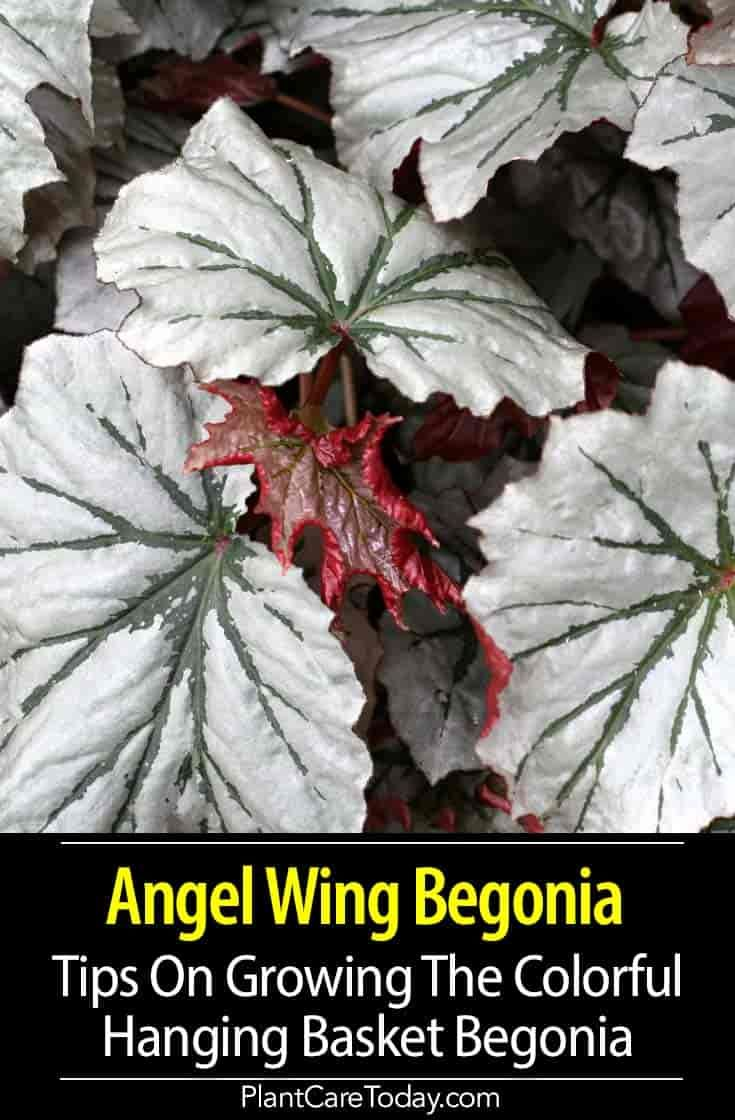 Angel wing begonia tips on growing the the colorful