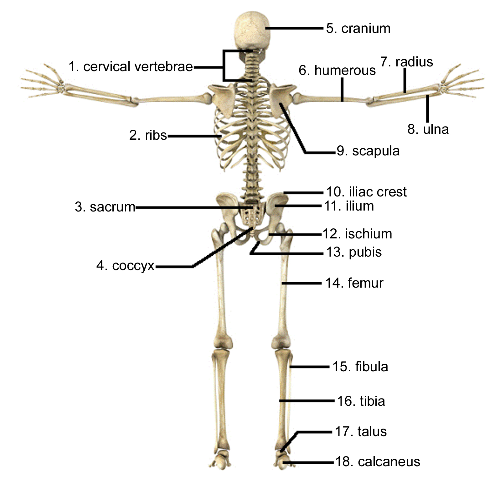 Labeled Skeleton Back